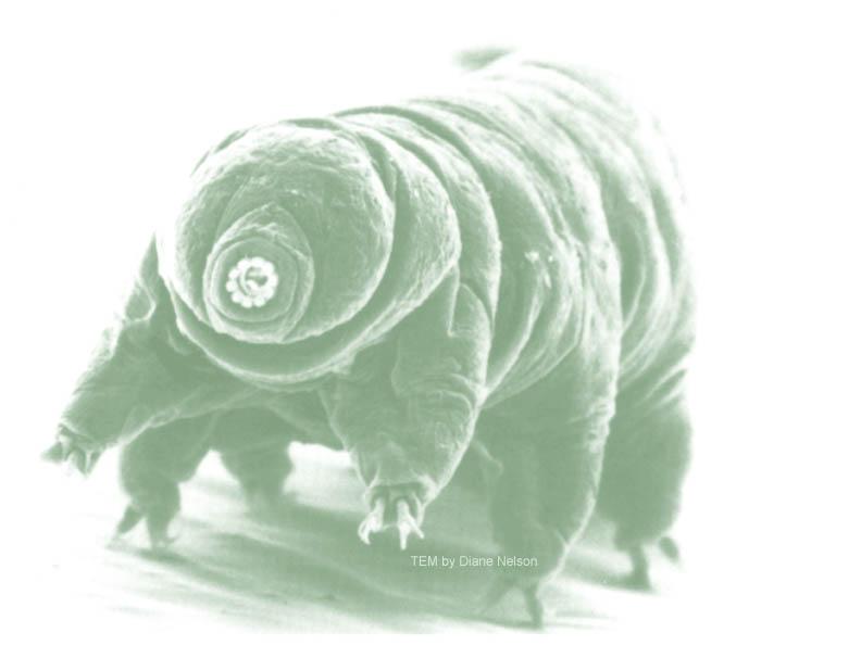 http://tardigrades.bio.unc.edu/DianeNelsonSEM.jpg